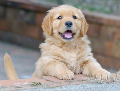 Golden retriever puppy in Petaluma