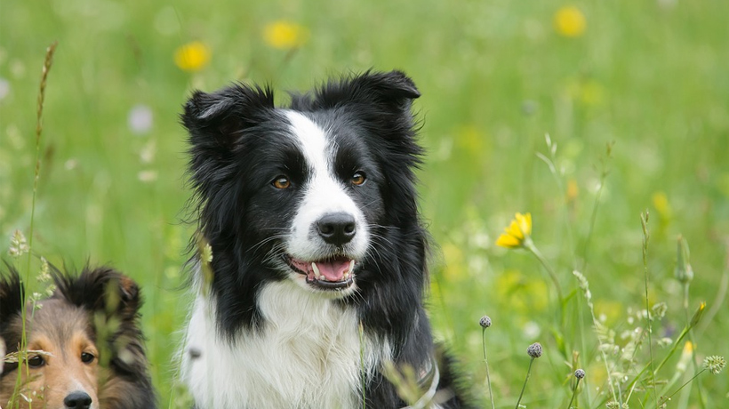 are border collies good for seniors?