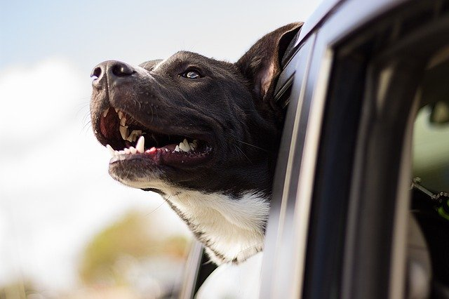 Happy dog takes a car ride
