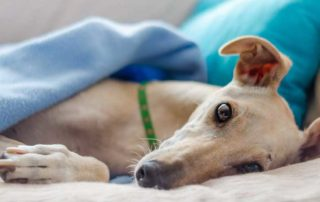 are greyhounds good pets for seniors?